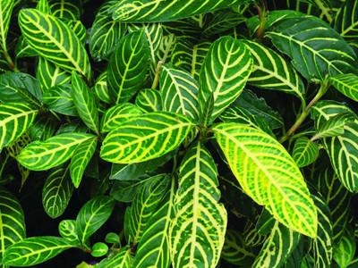 """Rare Tiger Plant - Ellen Sanchezia nobilis - 2.5"""" Pot - Easy to Grow House Plant"""