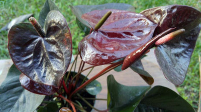 "Giant Chocolate Anthurium - 2.5"" Pot - Exotic House Plant"