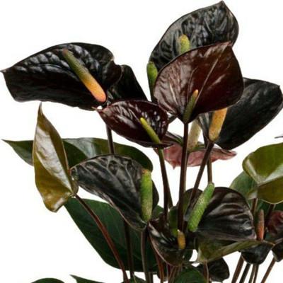 """Black Love Anthurium - 2.5"""" Pot - Exotic House Plant"""