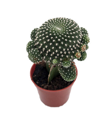 """Lunar Landing Grafted Moon Cactus - Easy to Grow - 2.5"""" Pot - Live Plant"""