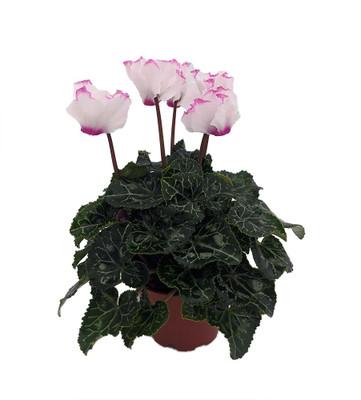 "Victoria Persian Violet - Cyclamen - House Plant - 2.5"" Pot"