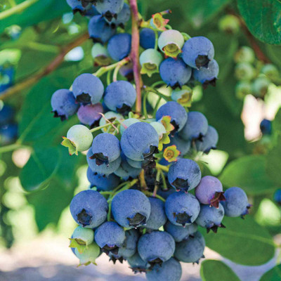 "Jersey Highbush Blueberry - Vaccinium - 2.5"" Pot - Hardy"