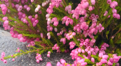 "C.D. Eason Bell Heather - Erica cinerea - Hardy - 2.5"" Pot"