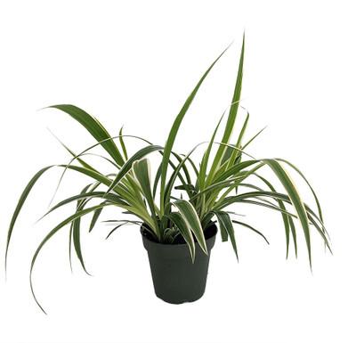 "Rare Irish Spider Plant - Chlorophytum - 4"" Pot - Collector's Series - Trending"
