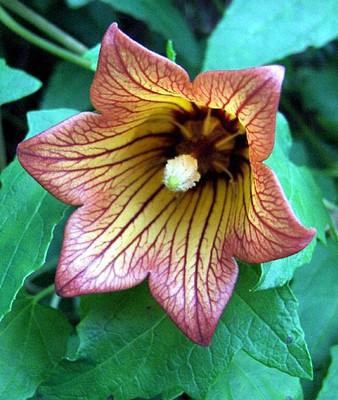 Canary Island Bellflower 20 Seeds - Canarina