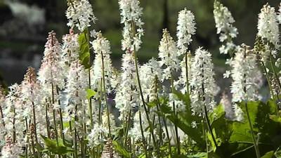 White Foam Flower - 20 Seeds - Tiarella Wherryi
