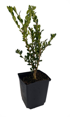 "Common Boxwood Bonsai Tree - Buxus sempervirens - Indoor Bonsai - 5"" Pot"