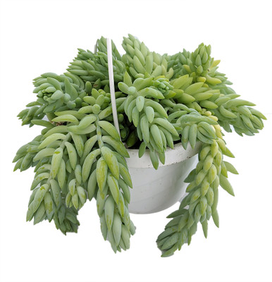 """Burrito Burros Tail - 6"""" Hanging Basket - Sedum burrito - Easy to Grow Succulent"""
