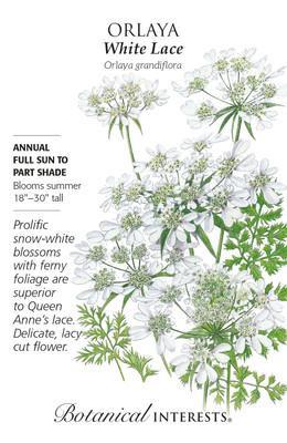 White Lace Orlaya Seeds - 500 Milligrams