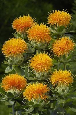 Zanzibar Safflower - 20 seeds - Carthamus