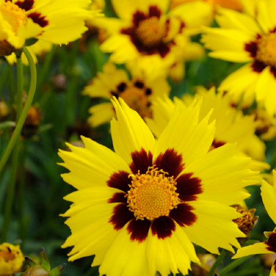 Sunkiss Coreopsis - 20 Seeds