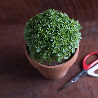 Piccolino Basil Seeds - 20 Seeds - World's Smallest Basil - Grow Indoors or Out