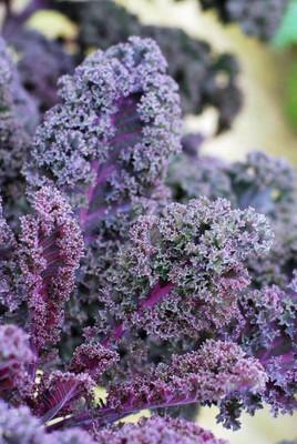 Scarlet Bor Kale - 20 Seeds - Vigorous