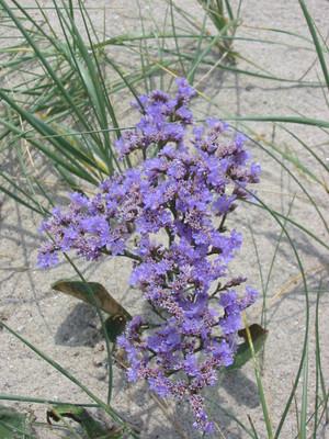Sea Lavender - 50 Seeds - Limonium latifolium