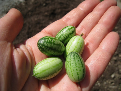 Mouse Melon - Cucamelon - 20 Seeds - A Must for the Vegetable Garden