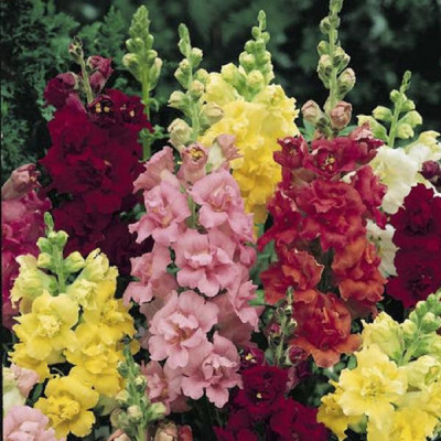 Madame Butterfly Mix Snapdragon Seeds - 35 Seeds