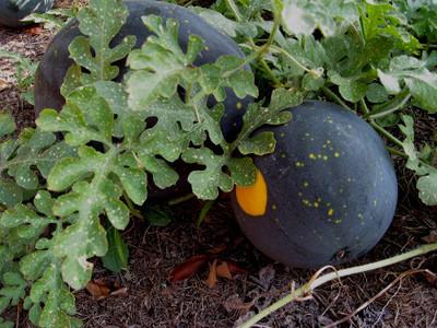 Harvest Moon Watermelon - 5 Seeds