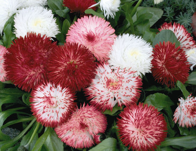 Habanera Mix Bellis Daisy - 20 Seeds