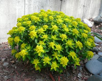 Cushion Spurge - 20 Seeds - Euphorbia Polychroma