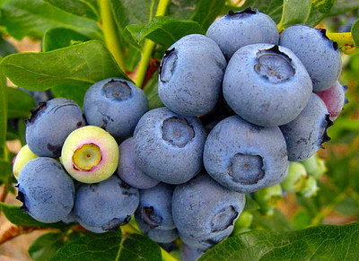 Duke Blueberry Plant - Early Ripening - Quart Pot