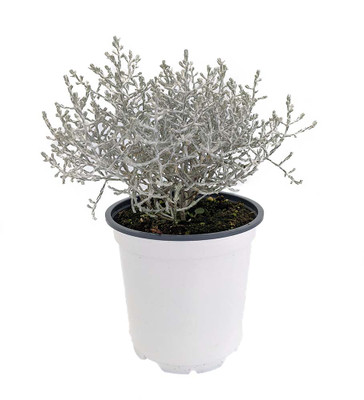 "Silver Sand Tumbleweed Plant - Calocephalus - Indoor/Out - 4"" Pot"