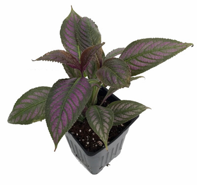 """Persian Shield Live Plant - Strobilanthes -  Inside/Out - 2.5"""" Pot -Proven Winners"""