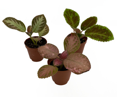 """Flame Violet Variety Pack - Episcia - Easy to Grow - 3 Plants in 2"""" Pots"""