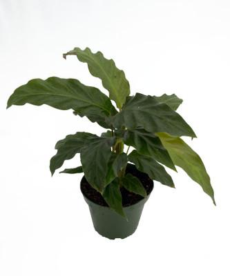 """Velvet Peacock Plant - Calathea rufibarba - Collector's Series - 4"""" Pot"""