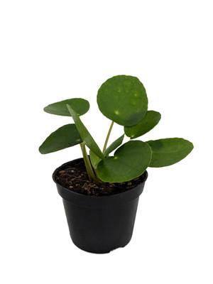 "Hirt's Gardens Chinese Money Plant - Pilea peperomiodes - 2.5"" Pot"