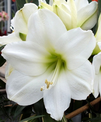 Athene Pure White Amaryllis Bulb - Holiday Blooms - Large Bulbs