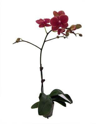 "Elegance Moth Orchid Plant - Phalaenopsis - Easy House Plant - 3"" Pot"