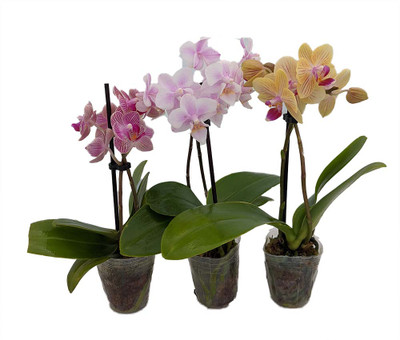 """Assorted Moth Orchid Plants - Phalaenopsis -  3 Pack in 2"""" Pot - Easy House Plant"""