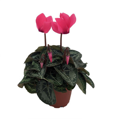 "Dark Pink Persian Violet - Cyclamen - House Plant - 2.5"" Pot"
