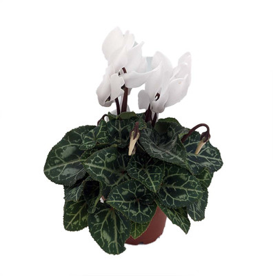 "White Persian Violet - Cyclamen - House Plant - 2.5"" Pot"