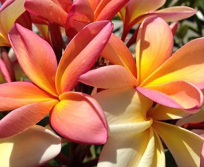 "Exotic Thailand Dusk Plumeria Plant - Frangipani - 8-10"" Cutting"