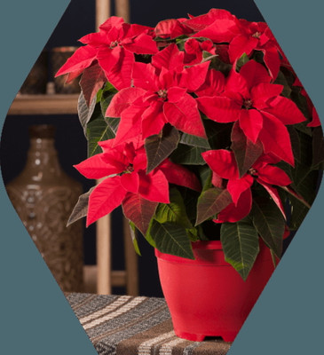 "New Red Princettia® Poinsettia - Mini Curled Flowers - 4.5"" Pot - Live Plant"