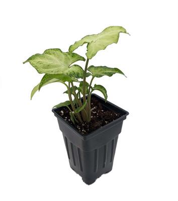 "White Butterfly Arrowhead Plant - Syngonium - Nepthytis - 2.5"" Pot"