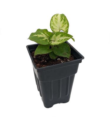 """Robusta Arrowhead Plant - Syngonium - Nepthytis - 2.5"""" Pot - Easy to Grow"""