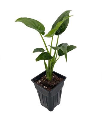 """Denver Elephant Ear Plant - Alocasia - Easy to Grow Houseplant - 2.5"""" Pot"""
