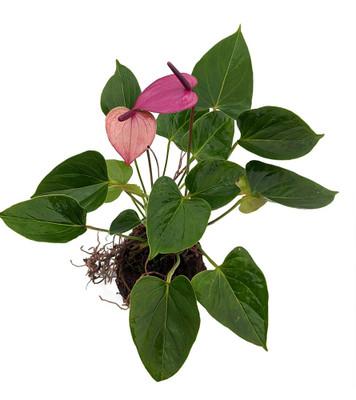 Passionate Purple Hawaiian Anthurium Volcano Rock Planter - Easy House Plant
