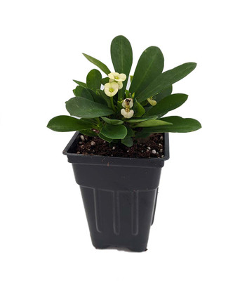 """Hector Biblical Crown of Thorns Plant - Euphorbia - 2.5"""" Pot"""