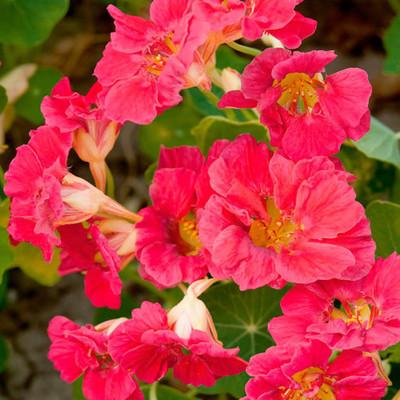 Nasturtium - Cherry Rose Jewel - 2 Grams
