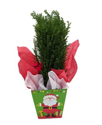"Cypress Christmas Tree in 4"" Santa Gift Box - Chamaecyparis lawsoniana Ellwoodii"