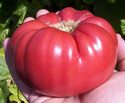Aunt Ginnys Purple Tomato 20 Seeds - Heirloom