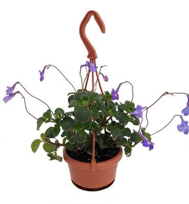 "Boysenberry Delight Cape Primrose Plant -Streptocarpella- 4"" Mini Hanging Basket"