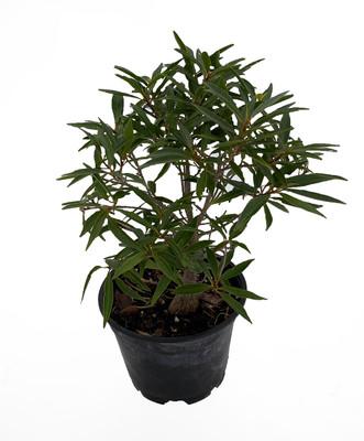 "Bamboo Leaf Weeping Fig Tree - Bonsai/House Plant - Ficus nerifolia -  6"" Pot"