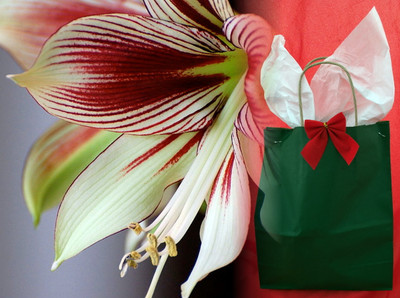 Papilio Butterfly Amaryllis Kit with Gift Bag, Large Bulb, Pot & Saucer, Soil