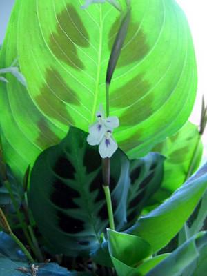 "Green Prayer Plant - Maranta - Easy to grow - 6"" Hanging Basket"