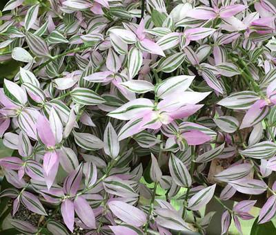 "Lavender Tradescantia fluminensis - 2.5"" Pot - Trailing House Plant"