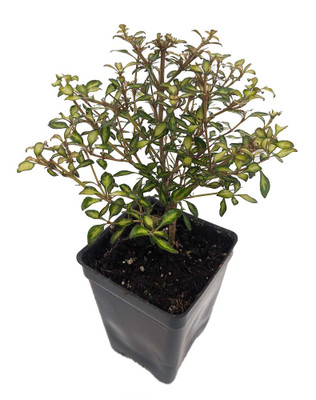 "Benson's Gold Coprosma - 2.5"" Pot - Terrarium/Fairy Garden/House Plant"
